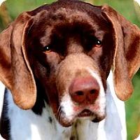 Adopt A Pet :: SPOCK(GORGEOUS PB POINTER!! - Wakefield, RI