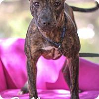 Adopt A Pet :: Belle - Jacksonville, FL