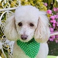 Poodle (Miniature) Dog for adoption in Irvine, California - Louis