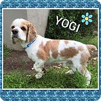 Adopt A Pet :: Yogi - Santa Barbara, CA