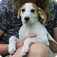 Pointer/Hound (Unknown Type) Mix Puppy for adoption in SOUTHINGTON, Connecticut - Oliver