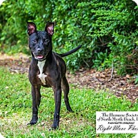 Adopt A Pet :: Cloda - North Myrtle Beach, SC