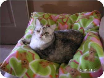 British Shorthair Cat for adoption in Phoenix, Arizona - MONA LISA
