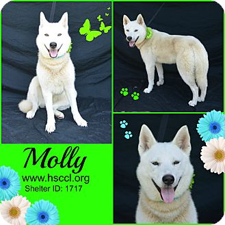 Husky Mix Dog for adoption in Plano, Texas - Molly
