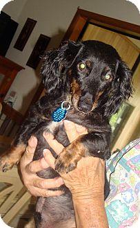 Dachshund Mix Dog for adoption in Daleville, Alabama - Chompers