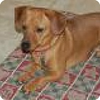 Adopt A Pet :: Norman - Shawnee Mission, KS
