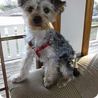Adopt A Pet :: Bella - Adoption Pending - Gig Harbor, WA