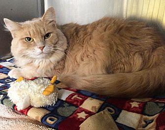 Domestic Mediumhair Cat for adoption in Battle Creek, Michigan - Samantha