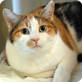 Calico Cat for adoption in Newland, North Carolina - Sundae