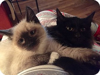 Siamese Kitten for adoption in Old Bridge, New Jersey - Ludwig
