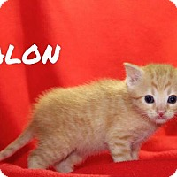 Adopt A Pet :: Malon - Batesville, AR