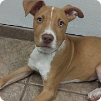 Adopt A Pet :: Pippin 111762 - Joplin, MO