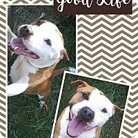 Adopt A Pet :: Zahara - Unionville, VA