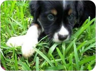 Australian Shepherd Mix Puppy for adoption in Orlando, Florida - Danny