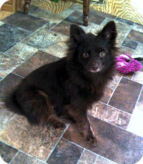 Pomeranian/Dachshund Mix Puppy for adoption in Baton Rouge, Louisiana - Lily