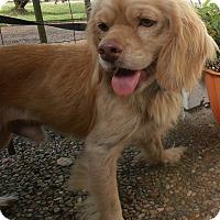 Adopt A Pet :: Fitz - Sugarland, TX