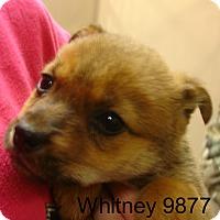 Adopt A Pet :: Whitney - Greencastle, NC