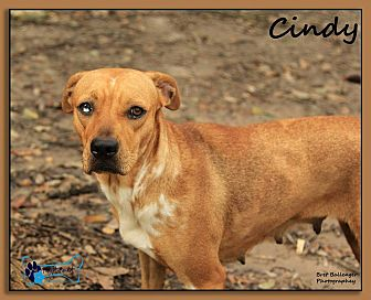 Catahoula Leopard Dog/Cattle Dog Mix Dog for adoption in Sarasota, Florida - Lucy