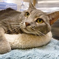 Adopt A Pet :: Lace - Capshaw, AL