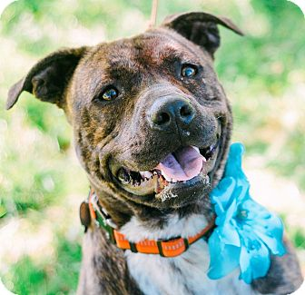 Pit Bull Terrier Mix Dog for adoption in Knoxville, Tennessee - Josie