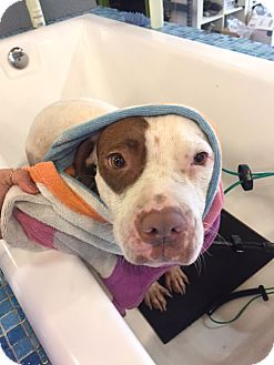 American Staffordshire Terrier/American Pit Bull Terrier Mix Dog for adoption in San Diego, California - Blossom