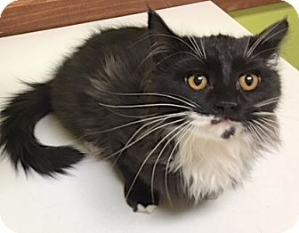 Domestic Longhair Kitten for adoption in Buhl, Idaho - Riu