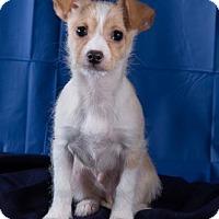 Adopt A Pet :: Fred Armisen - Redmond, WA