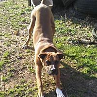 Adopt A Pet :: Brutus - Mansfield, TX