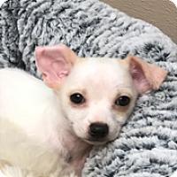 Adopt A Pet :: Chuck - Las Vegas, NV
