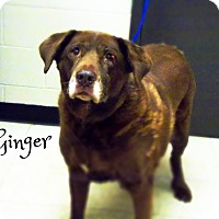 Labrador Retriever Dog for adoption in Defiance, Ohio - Ginger