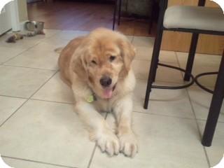 Golden Retriever Dog for adoption in Brattleboro, Vermont - Sami