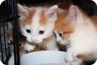 Maine Coon Kitten for adoption in Santa Monica, California - Blaze