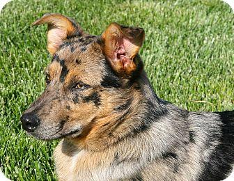 Australian Shepherd/Blue Heeler Mix Dog for adoption in Bedford, Virginia - Porter