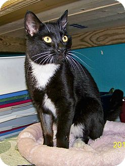 Domestic Shorthair Cat for adoption in Dover, Ohio - Whiskers