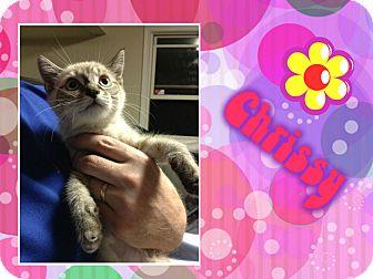 Siamese Cat for adoption in Washington, D.C. - Chrissy