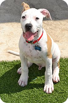 American Pit Bull Terrier Mix Dog for adoption in San Diego, California - Bentley