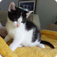 Adopt A Pet :: Apollo - N. Billerica, MA