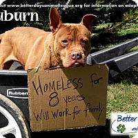 American Staffordshire Terrier Mix Dog for adoption in Chambersburg, Pennsylvania - Auburn