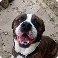 Adopt A Pet :: Brutus - Westminster, MD