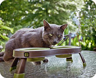 Domestic Shorthair Cat for adoption in Virginia Beach, Virginia - Batman