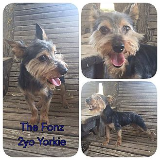 Yorkie, Yorkshire Terrier Mix Dog for adoption in DeForest, Wisconsin - Fonz