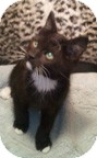 Domestic Shorthair Kitten for adoption in Anchorage, Alaska - Polo