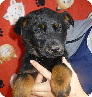 Golden Retriever/German Shepherd Dog Mix Puppy for adoption in Oviedo, Florida - Cammy