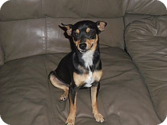Miniature Pinscher/Chihuahua Mix Dog for adoption in Mission Viejo, California - COLE