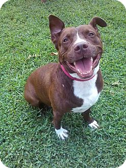American Pit Bull Terrier Mix Dog for adoption in Palm City, Florida - Mason