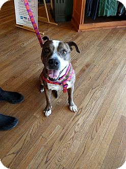 Staffordshire Bull Terrier Mix Dog for adoption in Dallas, Texas - Honey