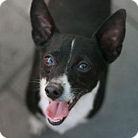 Terrier (Unknown Type, Small)/Chihuahua Mix Dog for adoption in Canoga Park, California - Sundance