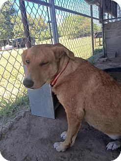Golden Retriever/Shepherd (Unknown Type) Mix Dog for adoption in Quinlan, Texas - Kacina