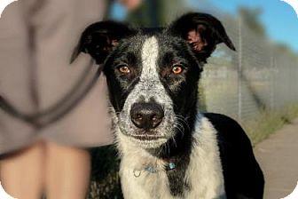 Australian Shepherd/Australian Cattle Dog Mix Puppy for adoption in Wichita, Kansas - Woods