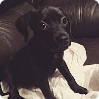 Adopt A Pet :: Mindy - Tampa, FL